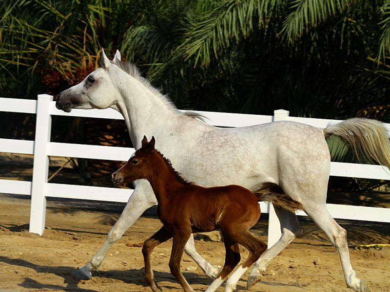 A white and brown horse run side by side in a horse pasture